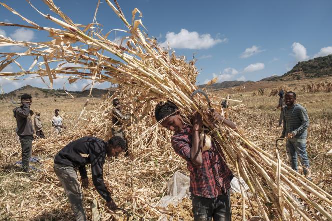 Des agriculteurs récoltent du sorgho près d'Alamata, en Ethiopie, le 10 décembre 2020.