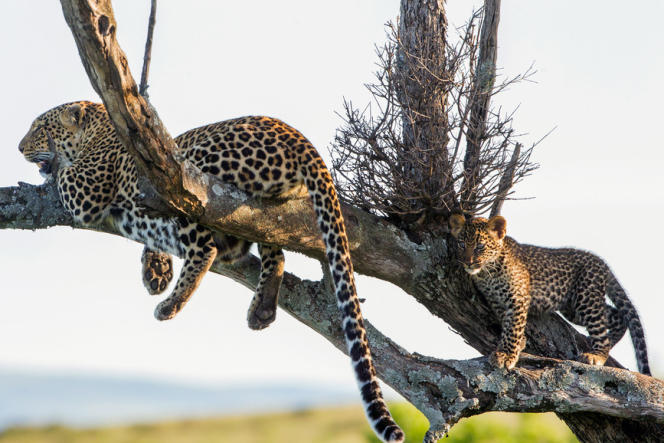 La panthère avec l'un de ses petits dans la région duSerengeti, entre Tanzanie et Kenya.