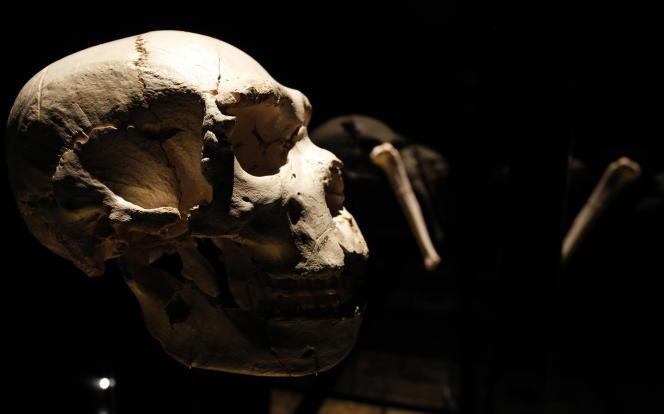 Un crâne de «Homo heidelbergensis», retrouvé à Sima de los Huesos en 1992 et exposé au Musée de l'évolution humaine, à Burgos (Espagne), en 2010.