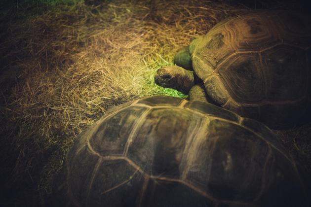 Les tortues des Seychelles dans l'enclos du parc animalier de Pont-Scorff (Morbihan), le 30 novembre.