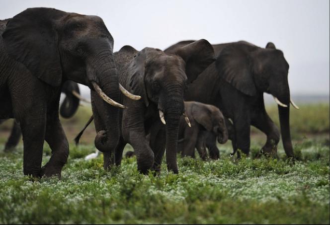 Des éléphants dans le parc national kényan d'Amboseli, au nord du Kilimandjaro.