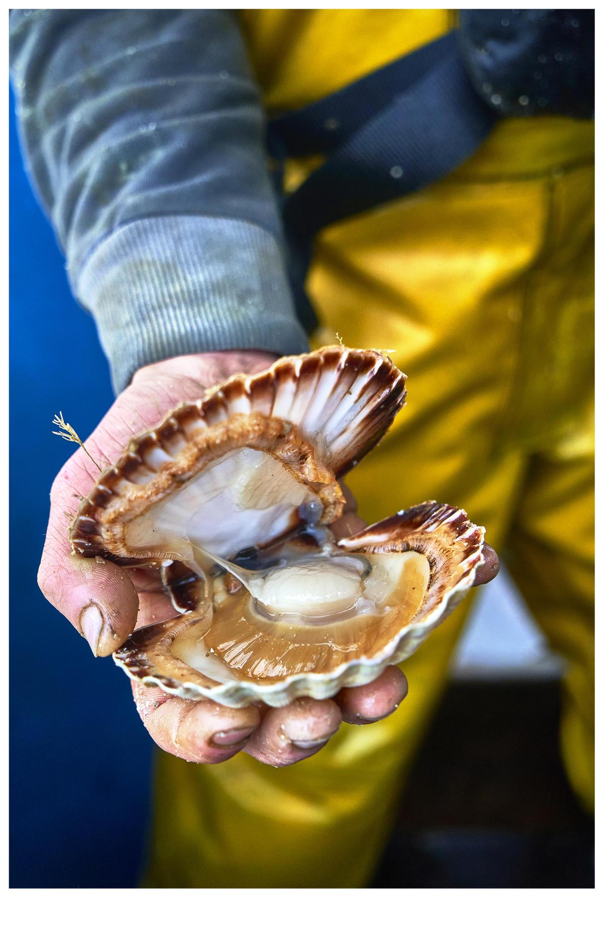 Dans la baie de Saint-Brieuc, la taille minimale des saint-jacques est de 10,2cm.