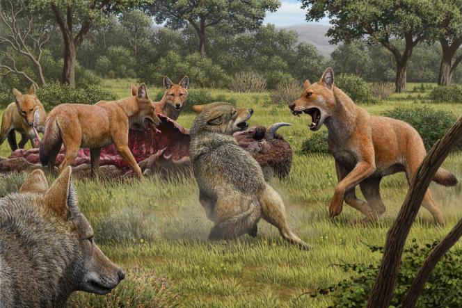 «Canis dirus», le «loup terrible» disparu il y a 12 000 ans.