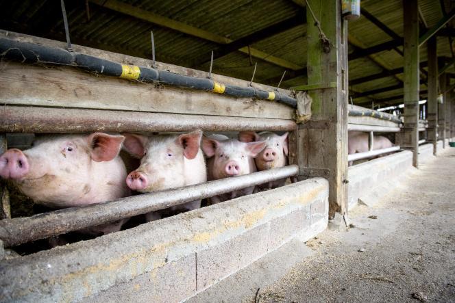 La porcherie dans laquelle sont rassemblés une petite centaine de cochons de race Large White, croisés Duroc, à Lessac (Charente) le 20 janvier.
