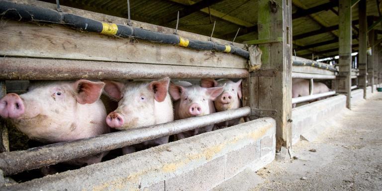 Pour Le Monde, reportage à Lessac (Charente), le mercredi 20 janvier 2021. Ici, la porcherie actuelle dans laquelle sont rassemblés une petite centaine de cochons de race Large White, croisés Duroc.