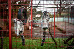 Johnny Kerthe, patron du Johnny circus, dans l'enclos de Julian et Rocky, deux lémuriens de Madagascar. En Charente, le 21 janvier.