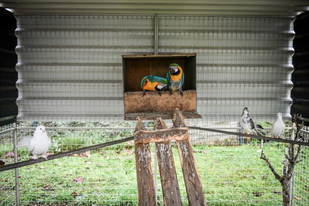 Perroquets et pigeons cohabitent dans la volière, construite sur la propriété familiale.