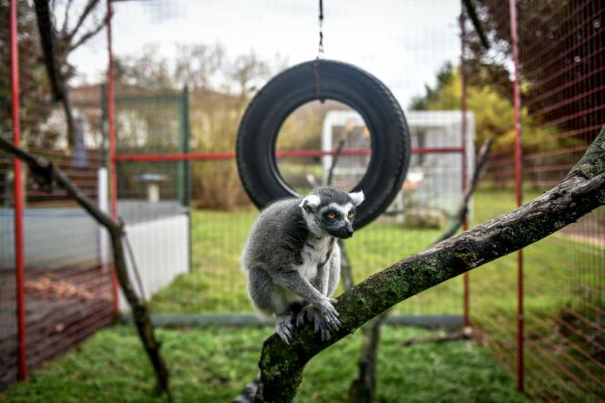 Un lémurien de Madagascar dans un enclos de la propriété familiale deJohnny Kerthe, patron duJohnny circus, en Charente, le 21 janvier.Son cirque pourrait être impacté par la loi contre la maltraitante animale.