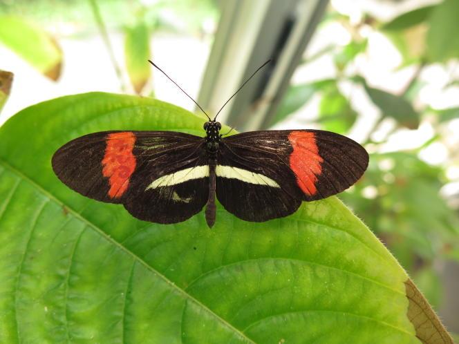 Un papillon «Heliconius melpomene» en captivité, au Panama.