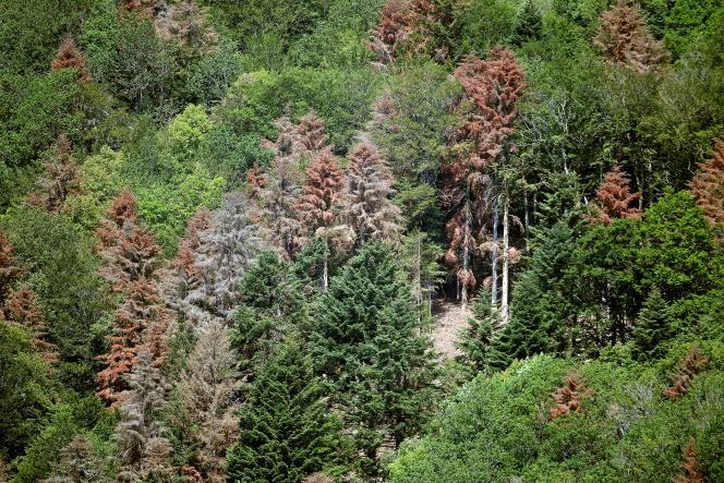 Des arbres souffrent de la sécheresse, dans la forêt de Masevaux (Haut-Rhin), en juillet 2019.