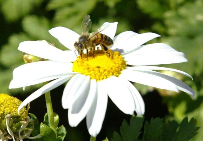 Une abeille butine une marguerite.