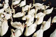 «Swan Upping, Cookham, 2016.»La cérémonie du « Swan upping », consiste à recenser le nombre de cygnes – en déclin – sur le fleuve.