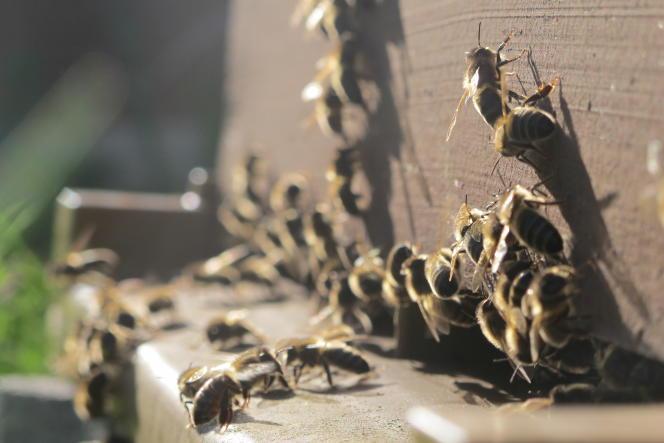 Des abeilles à l'entrée d'une ruche.