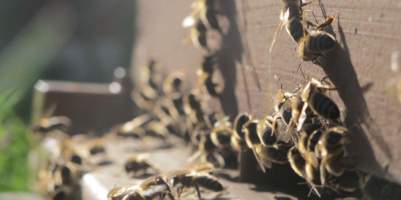 Le projet d'« arrêté abeilles » du gouvernement provoque la colère des apiculteurs