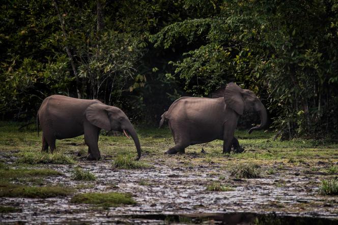 Elefantes del bosque caminando en el Parque Nacional Odzala-Kokoua (Congo-Brazzaville) en 2017.