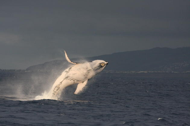 Baleine à bosse photographiée au large de la côte ouest de l'île de La Réunion, en octobre 2010.