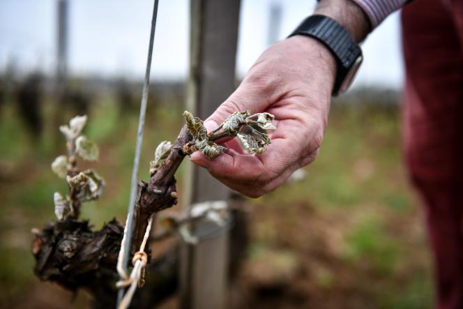 Dans les vignes en partie gelées du Château Doisy-Daëne, à Barsac (Gironde), le 9 avril 2021.