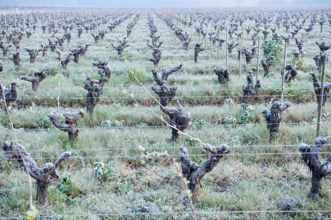Vignes au Landreau, près de Nantes, le 12 avril. Le secteur viticole a connu un épisode de gel historique.