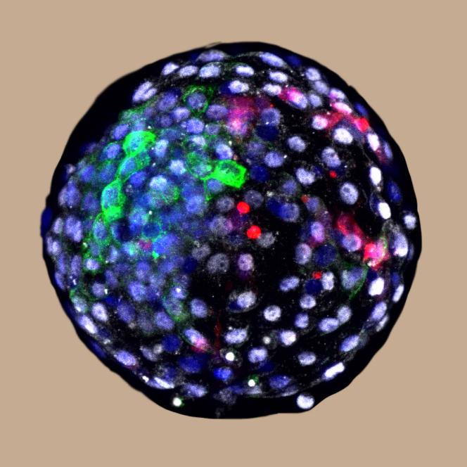 Vue au microscope d'un embryon chimérique de macaque comprenant des cellules humaines.