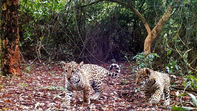 Los dos pequeños jaguares, nacidos en cautiverio, cuando llegaron al Parque Iberá (Argentina), el viernes 16 de abril.