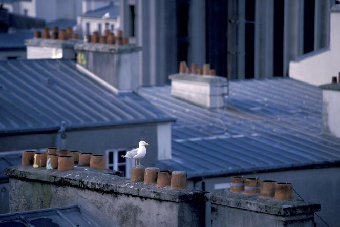 Un goéland argenté sur une cheminée, à Brest. Photo priselors d'une campagne de stérilisation des œufs.