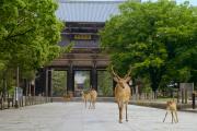 Les daims de Nara, au Japon, livrés à eux-mêmes dans la ville sans leurs 14,3 millions de visiteurs annuels.