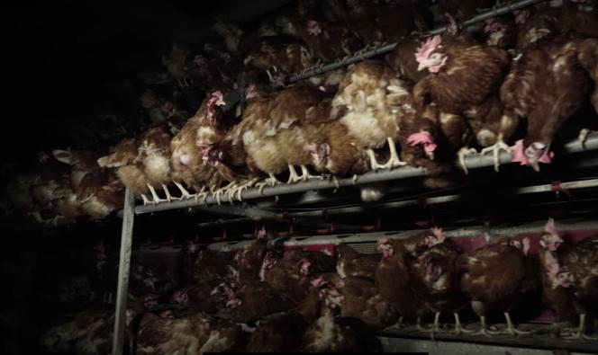 Extrait de la vidéo de l'association L214, montrant un élevage de poules«au sol», diffusée le 21avril.