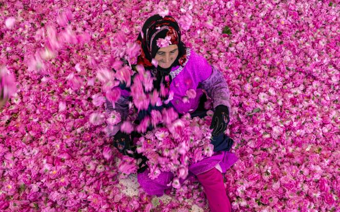 Une ouvrière au milieu d'une récolte de roses à Kelaat Mgouna, au Maroc, le 26avril 2021.