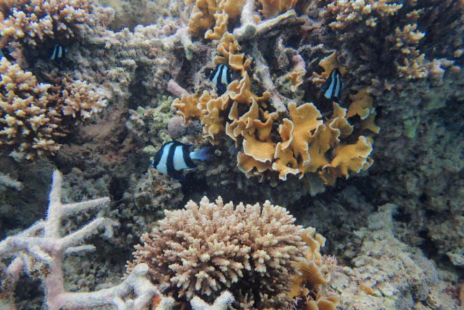 Des coraux dans le parc marin de Blue Bay, à Maurice.