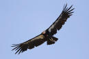 FILE - In this June 21, 2017, file photo, a California condor takes flight in the Ventana Wilderness east of Big Sur, Calif. A California condor egg has hatched in Northern California's wild, the newest member of Pinnacles National Park's recovery program for the endangered species. California condors have been making a comeback in the wild and now occupy parts of California's Central Coast, Arizona, Utah and Baja California, Mexico. The total wild population now numbers more than 300 birds. (AP Photo/Marcio Jose Sanchez, File)