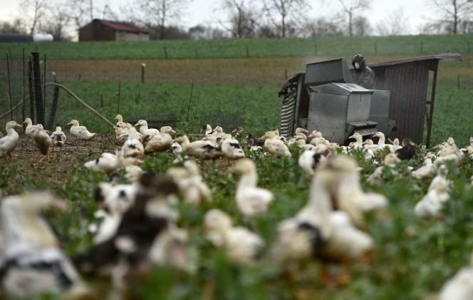 Un élevage en plein air de canards, dans à Mugron (Landes), le 29 décembre 2020.
