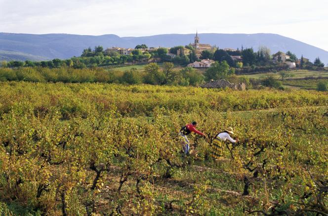 Vendanges à Villars, en Provence.