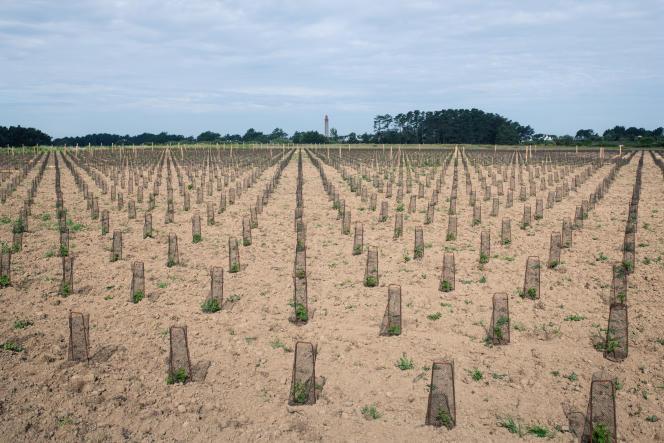 Les premières vignes Les premiers ceps du domaine Les Vignes de Kerdonis, à Belle-Ile-en-Mer, dimanche 30 mai.