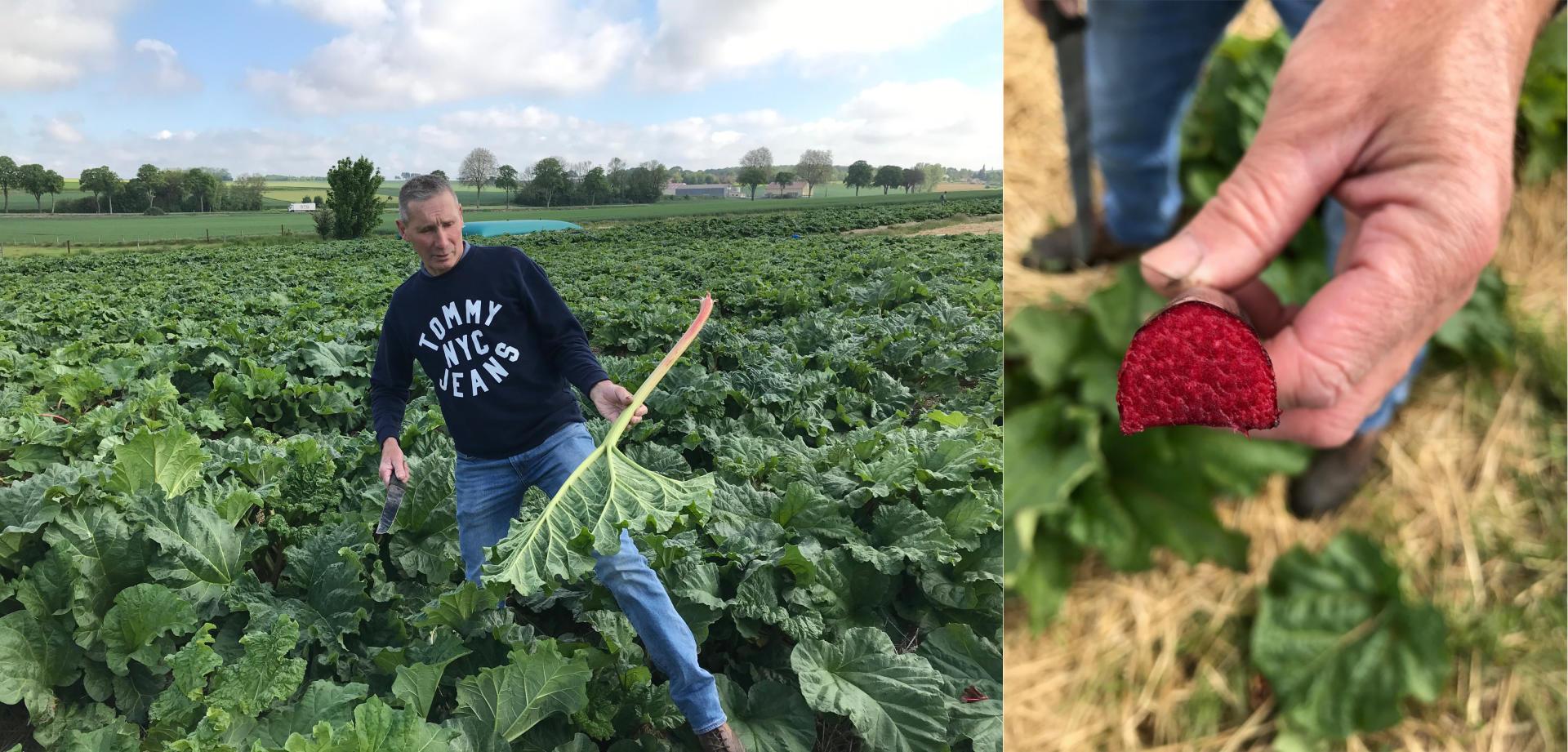 A gauche : Mathieu Vermès, cultivateur de rhubarbe, une goliath en main. A droite : une valentine.