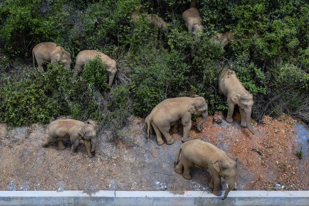 Le troupeau d'éléphants d'Asie photographié dans le comté d'Eshan, en Chine, le 28 mai 2021.