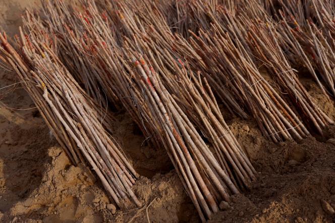 Piles de pousses d'arbres en attente d'être plantées, dans la ferme forestière soutenue par l'Etat de Yangguan, au bord du désert de Gobi dans la province du Gansu, en Chine, le 13 avril 2021.