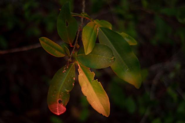 Production de feuilles de coca,région d'Ucayali, Pérou, le 8 mai 2021.