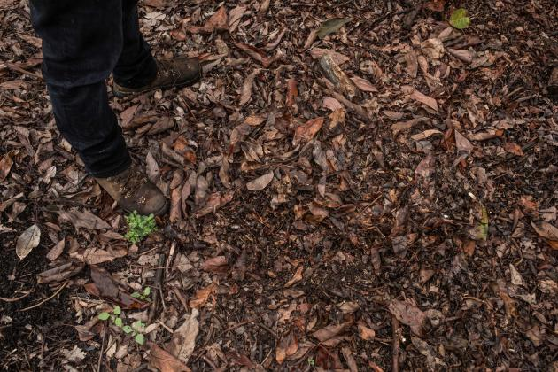 Under the trees, the soil is covered with a large layer of natural compost, which helps retain moisture in the soil and slows water evaporation.  Cútar, Malaga, Spain, April 16, 2021.