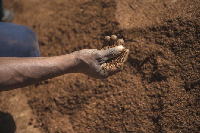 Des feuilles de rooibos dans une exploitation du Cap-Occidental, en Afrique du Sud, en 2017.
