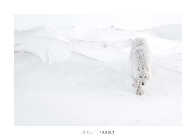 «Loup arctique», île d'Ellesmere, Nunavut, Canada, 2013.