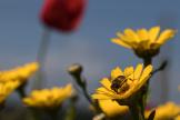 Une abeille à Saint-Philbert-sur-Risle (Eure).