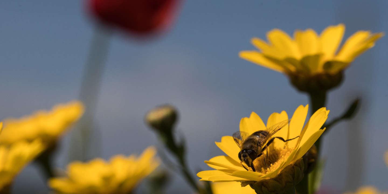 Le « plan pollinisateurs » contesté par les apiculteurs et les agriculteurs