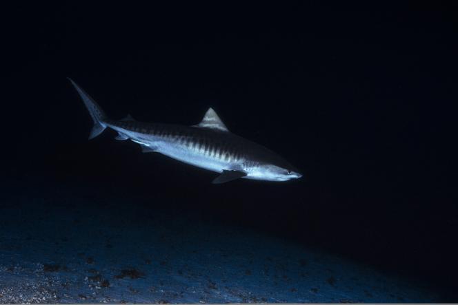 Requin-tigre (Galeocerdo cuvier) à 114 mètres de fond, au large de Mayotte, le 22janvier 2019.