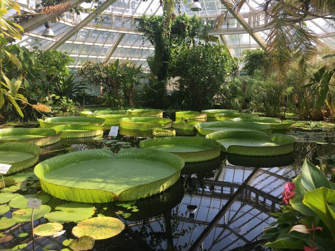 « Victoria cruziana», dans l'actuelle serre à victorias du Jardin botanique de Meise.