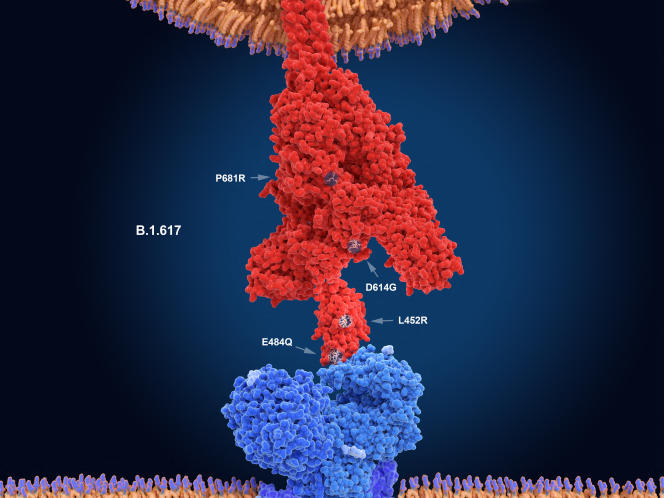 Illustration de la protéine Spike ou spicule (en rouge) du variant B.1.617 du SARS-CoV-2. Elle se lie à la cellule hôte pour l'infecter. Les flèches indiquent les positions où sont présentes les mutations les plus préoccupantes par rapport à la souche d'origine.