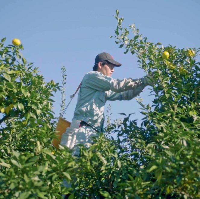 Les produits japonais Waso ont été notamment conçus à partir des citrons yuzu, cueillis ici dans la région de Kochi.