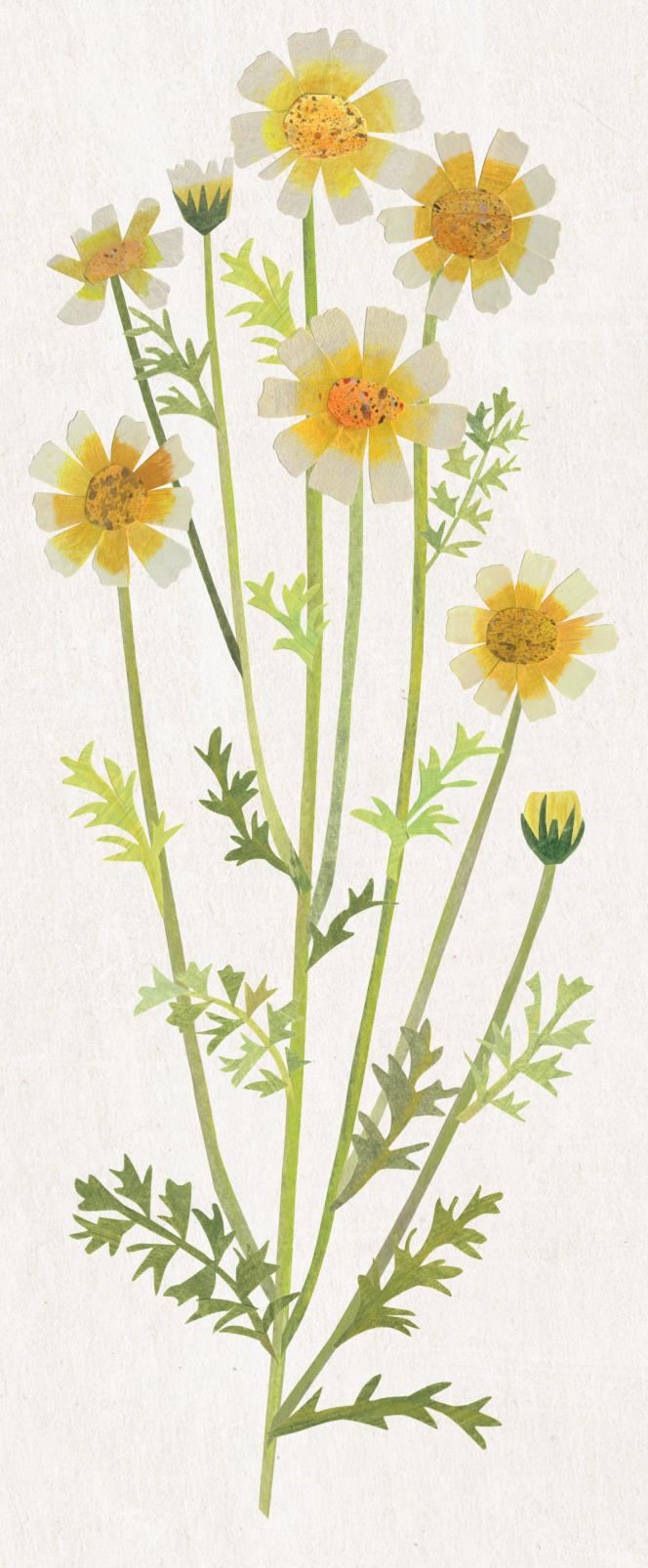 Chrysanthème comestible (Chrysanthemum coronarium).