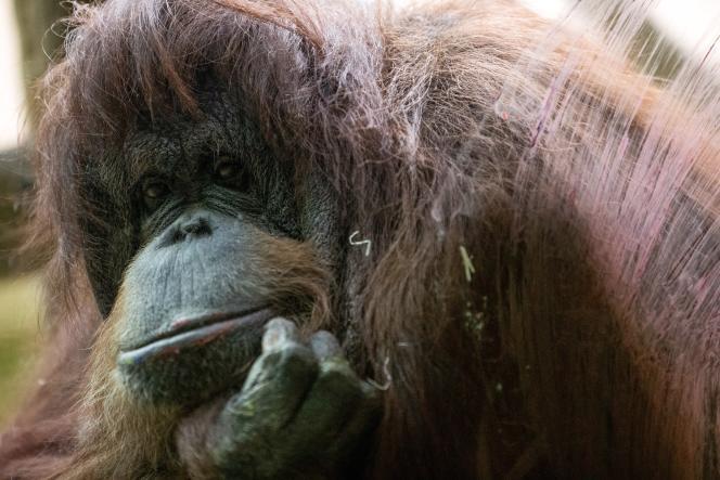 La femelle orang-outan Nénette, mascotte de la ménagerie du Jardin des Plantes, ici à Paris en 2019, est en captivité depuis 1972.