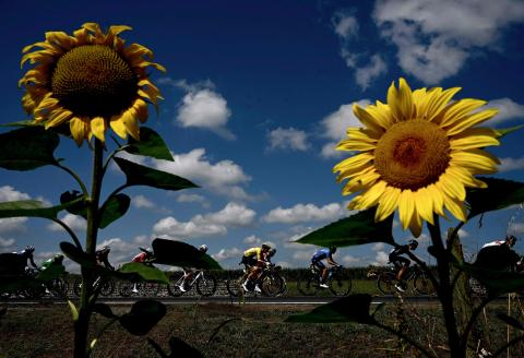 Team UAE Emirates' Tadej Pogacar of Slovenia wearing the overall leader's yellow jersey rides past a sunflower during the 19th stage of the 108th edition of the Tour de France cycling race, 207 km between Mourenx and Libourne, on July 16, 2021. / AFP / Philippe LOPEZ