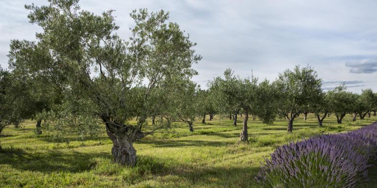 Oliveraie du Domaine Leos, L'isle-sur-la-Sorgue